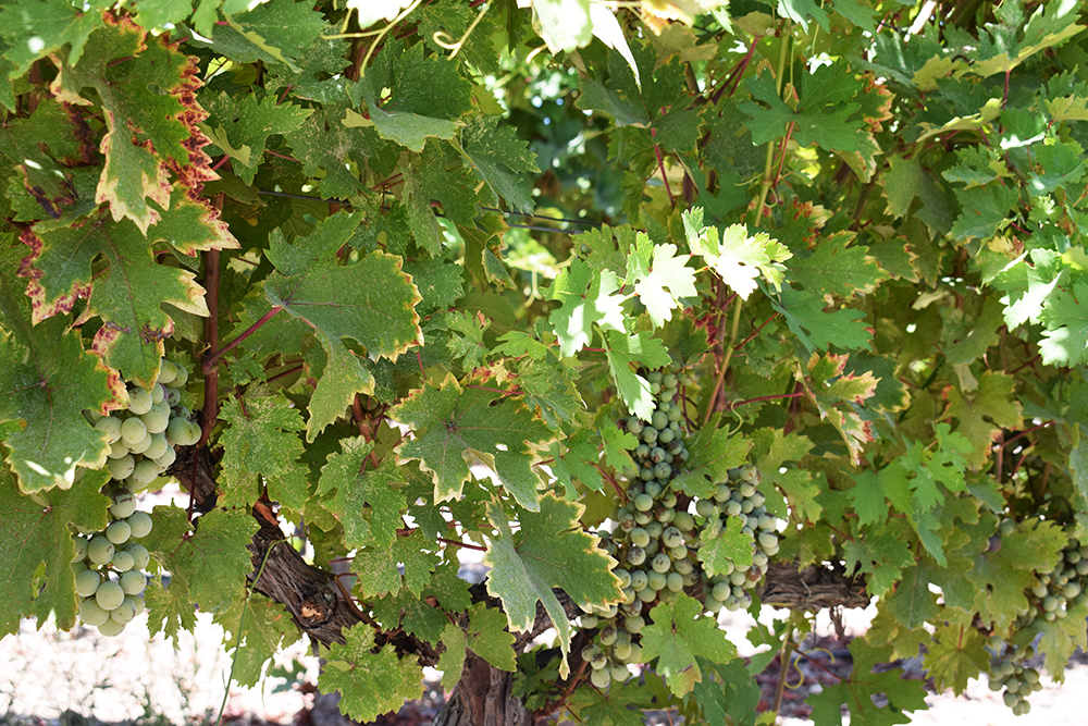Urla Şarapçılığın Bağları